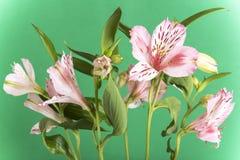 Alstroemeria, i precedenti verdi Fotografie Stock