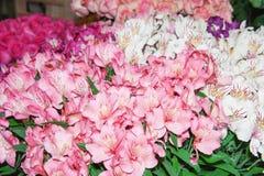 Alstroemeria jest stubarwnym nierówny i rewolucjonistką tła kwiatów ogrodowe floksów rośliny zdjęcie royalty free