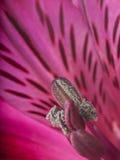 Alstroemeria kwiat Zdjęcia Royalty Free
