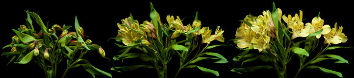 Alstroemeria kwiatu serie Obraz Stock