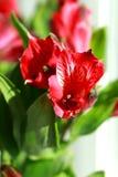 Alstroemeria. Light day spring june green color sun red color Alstroemeria Stock Photo