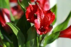 Alstroemeria. Light day spring june green color sun red color Alstroemeria Royalty Free Stock Image