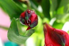 Alstroemeria. Light day spring june green color sun red color Alstroemeria Stock Photography