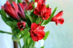 Alstroemeria. Light day spring june green color sun red color Alstroemeria Stock Photos