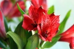 Alstroemeria. Light day spring june green color sun red color Alstroemeria Stock Images