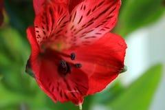 Alstroemeria. Light day spring june green color sun red color Alstroemeria Royalty Free Stock Photography