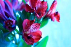 Alstroemeria. Light day spring june green color sun red color Alstroemeria Royalty Free Stock Photo