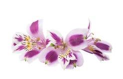Alstroemeria lilla su un fondo bianco Immagini Stock Libere da Diritti