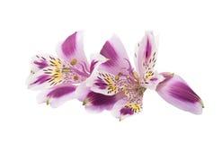 Alstroemeria lilla su un fondo bianco Fotografia Stock Libera da Diritti
