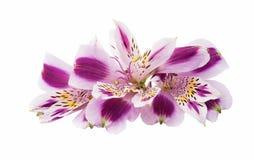 Alstroemeria lilla su un fondo bianco Fotografia Stock