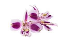 Alstroemeria lilla su un fondo bianco Immagini Stock
