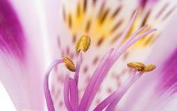 Alstroemeria lilla su un fondo bianco Immagine Stock Libera da Diritti