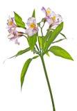 Alstroemeria lily Stock Photography
