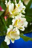 Alstroemeria lily Stock Images