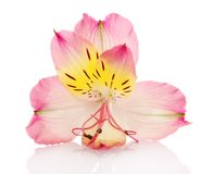 Free Alstroemeria Lily Stock Photography - 35565282