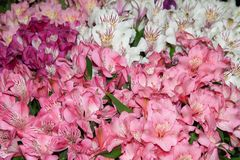 Alstroemeria is multicolored pink-red and spotty. Background of flowers royalty free stock image