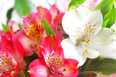 Alstroemeria. Nature background Royalty Free Stock Photo