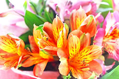 Alstroemeria. Nature background Stock Images