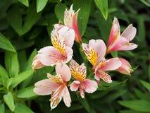 Alstroemeria oder Blumen der peruanischen Lilie lizenzfreie stockbilder