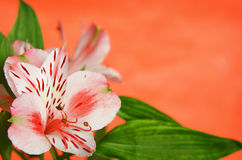 Alstroemeria on orange background Stock Photography