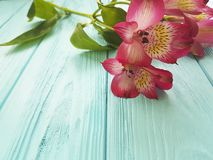 Alstroemeria płatka headflower na błękitnym drewnianym urodzinowym lecie Obrazy Stock