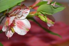 Alstroemeria peruansk lilja Royaltyfri Foto