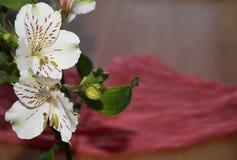 Alstroemeria peruansk lilja Arkivbild
