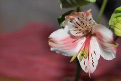 Alstroemeria peruansk lilja Royaltyfri Fotografi