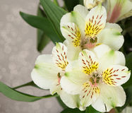 Alstroemeria Peruvian lily. stock image