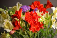 Alstroemeria or Peruvian lily close-up. Red and yellow. Bouquet on a dark background.  stock image