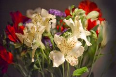 Alstroemeria or Peruvian lily close-up. Red and yellow. Bouquet on a dark background.  royalty free stock photos