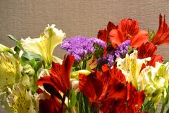 Alstroemeria or Peruvian lily close-up. Red and yellow. Brown background.  stock photography
