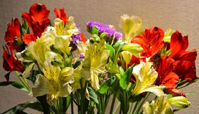 Alstroemeria or Peruvian lily close-up. Red and yellow. Brown background.  royalty free stock photo