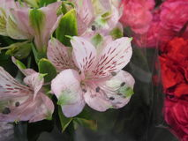 Alstroemeria or Peruvian lily or Lily of the Incas flower. Royalty Free Stock Photography