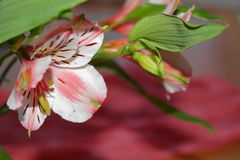 Alstroemeria, Peruwiańska leluja Zdjęcie Royalty Free