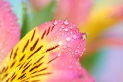 Alstroemeria petals Royalty Free Stock Image