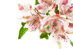Alstroemeria pink flower Stock Photos
