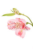Alstroemeria pink flowers Royalty Free Stock Photo