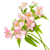 Alstroemeria pink flowers. On white stock photography