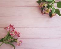 Alstroemeria on a pink wooden frame background. Alstroemeria a pink wooden frame backgroundn Stock Image