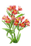 Alstroemeria Plant Royalty Free Stock Photography
