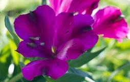 Alstroemeria pourpre Image libre de droits