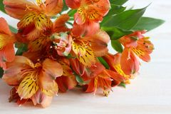 Alstroemeria, primo piano dei fiori di rosso-giallo Immagine Stock