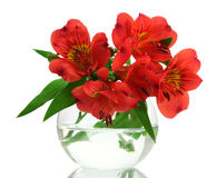 Alstroemeria red flowers in vase Royalty Free Stock Image