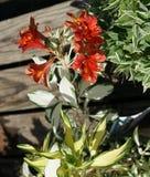 Alstroemeria 'roccia & rotolo' Fotografia Stock