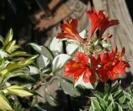 Alstroemeria 'roccia & rotolo' Fotografie Stock Libere da Diritti