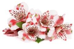 Alstroemeria rosa Fotografia Stock