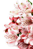 Alstroemeria rosa Immagini Stock Libere da Diritti