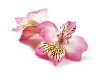 Alstroemeria rosa Immagine Stock Libera da Diritti