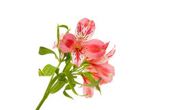 Alstroemeria rosa Immagine Stock